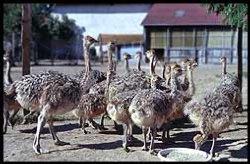 Sardieu ostriches